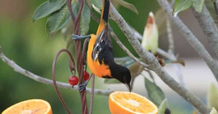 Top 6 Best Oriole Feeders Actually Work In 2021