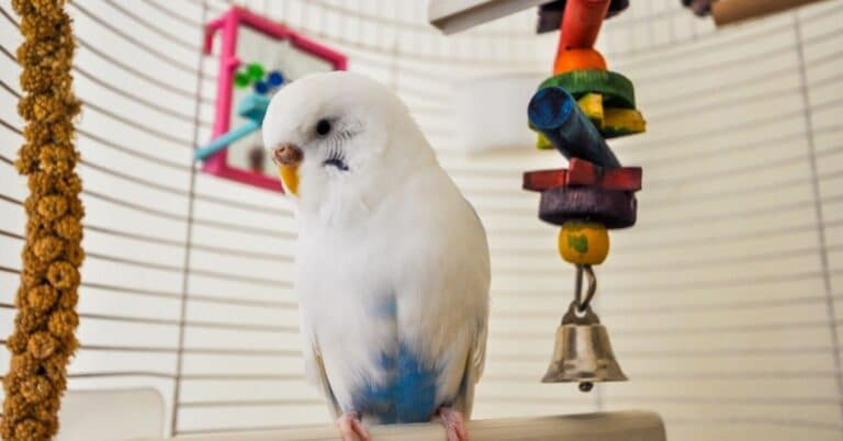 5 Best toys for parakeets 2021: Keeping Them Happy