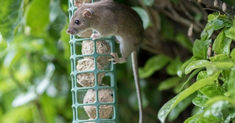 9 Tips how to Keep Rats Out of a Bird Feeder: Deterring Rats